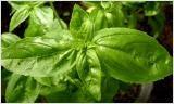Ätherisches Öl- Basilikum (Ocimum basilicum) 10 ml
